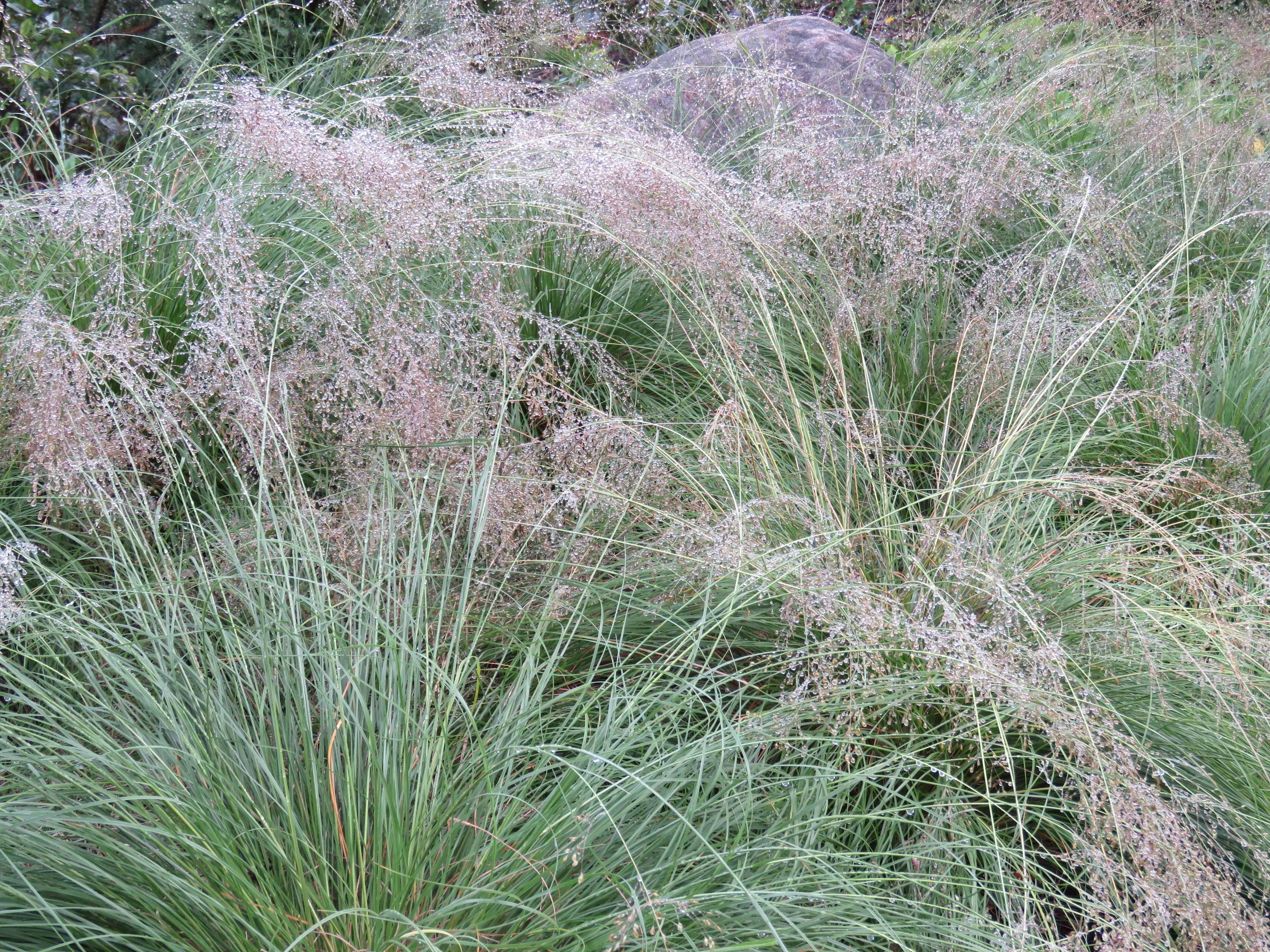 Prairie Dropseed Texture