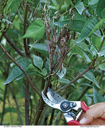 Winter Pruning Shrubs