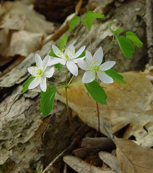 Anemonella thalictroides April 2017 Know What You Grow