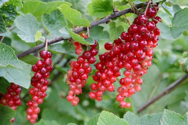 Ribes rubrum 'Rovada'