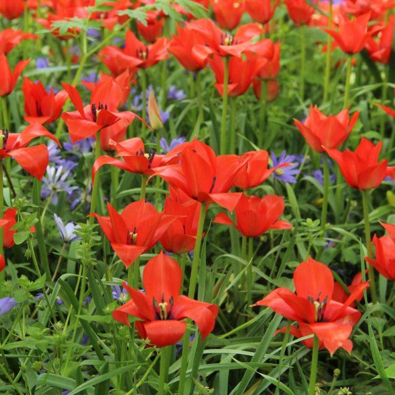 tulipa-linifolia-6023
