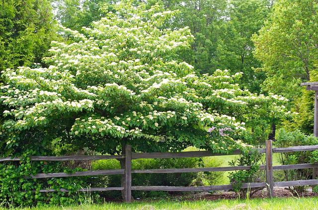 Cornus alternifolia tree